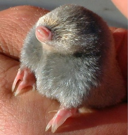 baby-mole